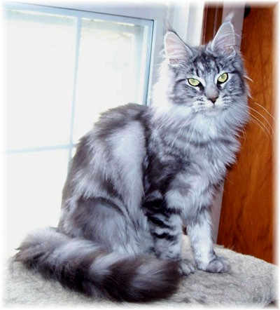 Silver maine coon breeders
