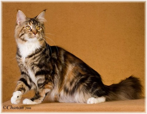 -Maine Coon/Color Calculator- - Spellbounds Maine Coon Cats